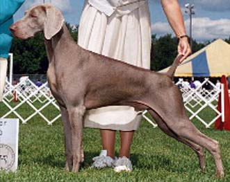 Phil & Heidi Warren raise Weimaraners, Top Quality Show, Obedience & Field, Northwoods Weimaraners, Monkton Maryland.      polocrop.jpg (30486 bytes)